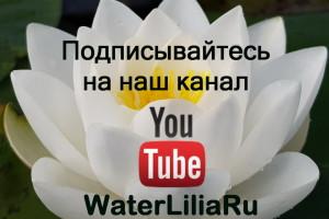 Наш канал на YouTube, посвященный нимфеям, кувшинкам и всему, что с ними связано