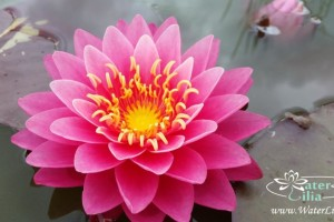 Купить нимфея Perry´s Fire Opal (купить кувшинку, водяную лилию Перрис Фаер Опал)