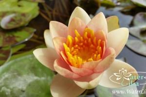 Купить нимфея Aurora (купить кувшинку, водяную лилию Аврора)