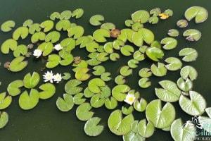 Купить нимфею Marliacae Albida (купить кувшинку, водяную лилию Марлиака Альбида)