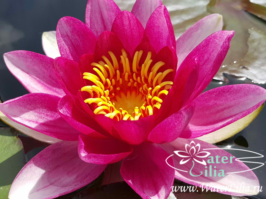 Купить нимфея Attraction (купить кувшинку, водяную лилию Аттракцион, Эттрекшн)