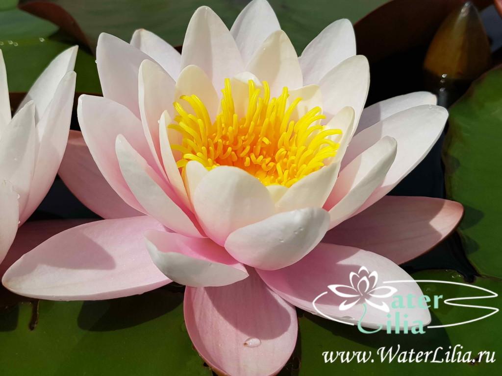 Купить нимфея Marliacea Carnea (купить кувшинку, водяную лилию Марлиака Карнеа)