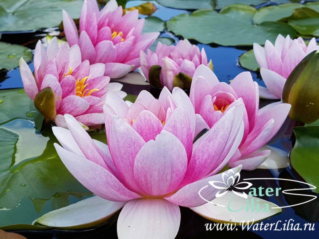 Купить нимфея Marliacea Flammea (купить кувшинку, водяную лилию Marliacea Flammea)