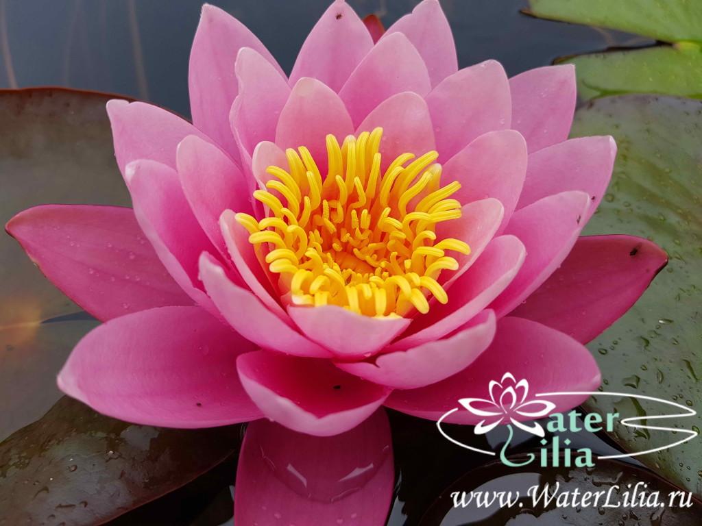Купить нимфея Pink Sensation (купить кувшинку, водяную лилию Пинк Сенсейшн)