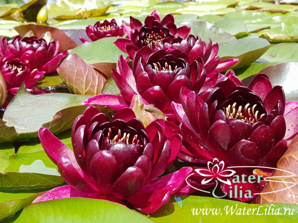 Купить нимфея Black Princess (купить кувшинку, водяную лилию Блэк Принцесс)