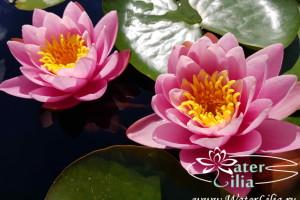 нимфея Marliacea Rosea
