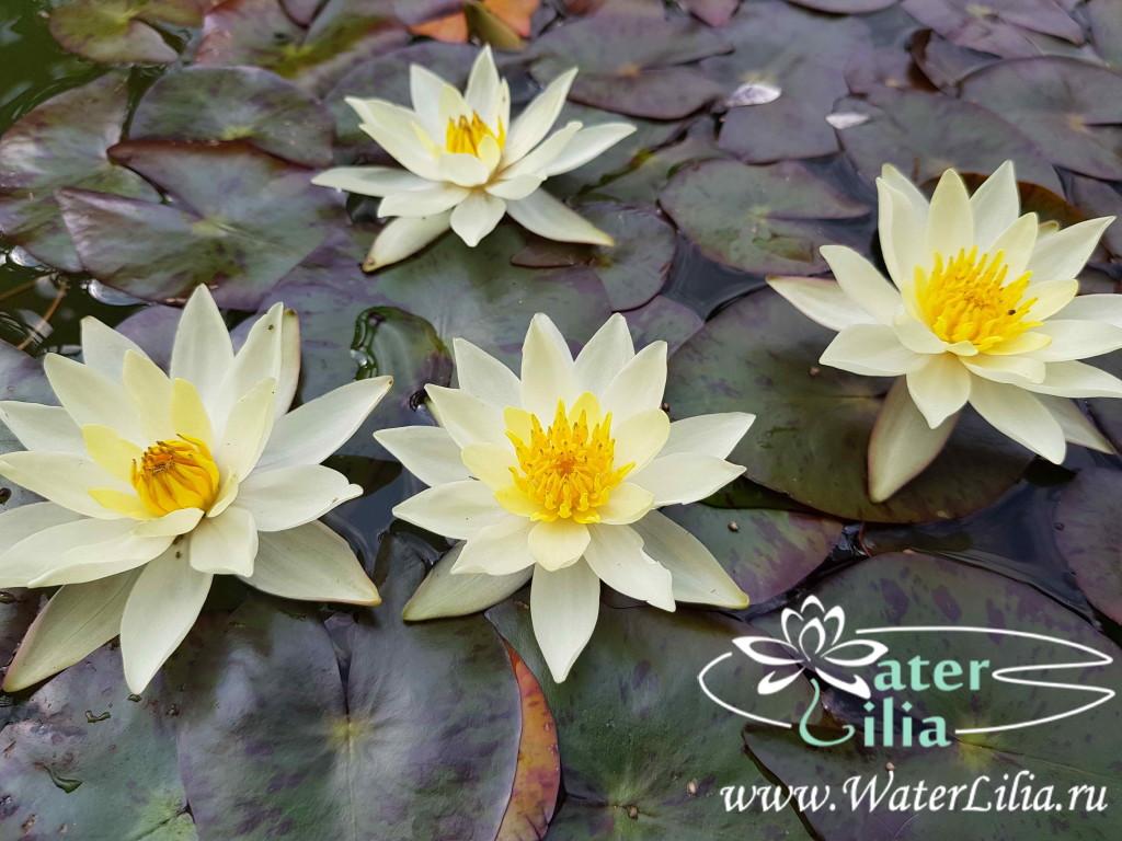Купить нимфея pygmaea Helvola (купить кувшинку, водяную лилию пигмея Хелвола)