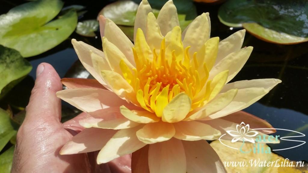Купить нимфея Mangala Ubol (купить кувшинку, водяную лилию Мангала Убол)