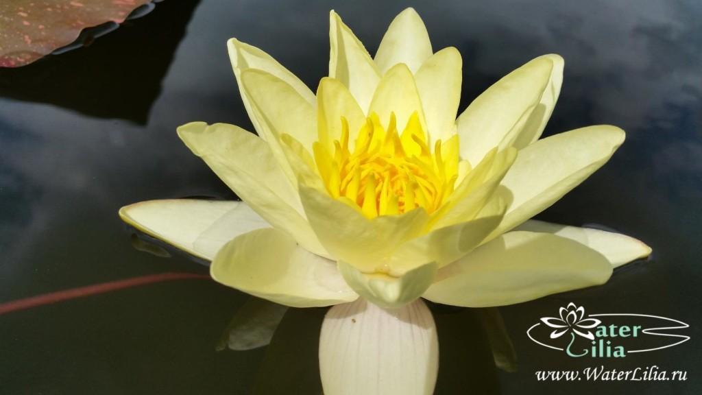 Купить нимфея Marliacea Chromatella  (купить кувшинку, водяную лилию Марлиака Хромателла)