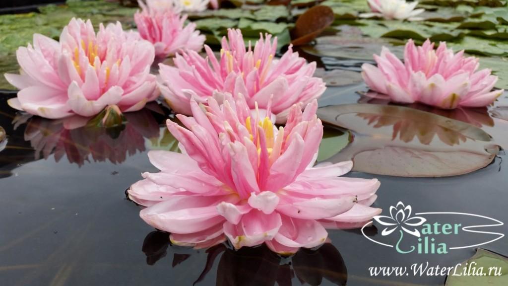 Купить нимфея Lily Pons (купить кувшинку, водяную лилию Лили Понс)