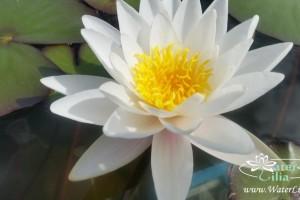 Купить нимфея Marliacea Albida (купить кувшинку, водяную лилию Марлиака Альбида)