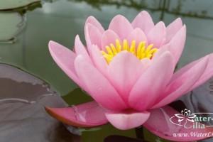 Купить нимфея Marliacea Rosea (купить кувшинку, водяную лилию Марлиака Розеа)