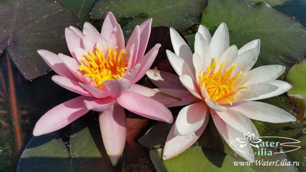 Купить нимфея Rose Arey (купить кувшинку, водяную лилию Роуз Эрей)