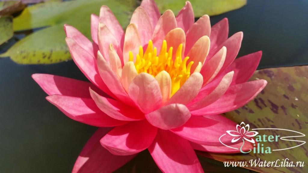 Купить нимфея Perry`s Autumn Sunset (купить кувшинку, водяную лилию Перрис Отум Сансет)