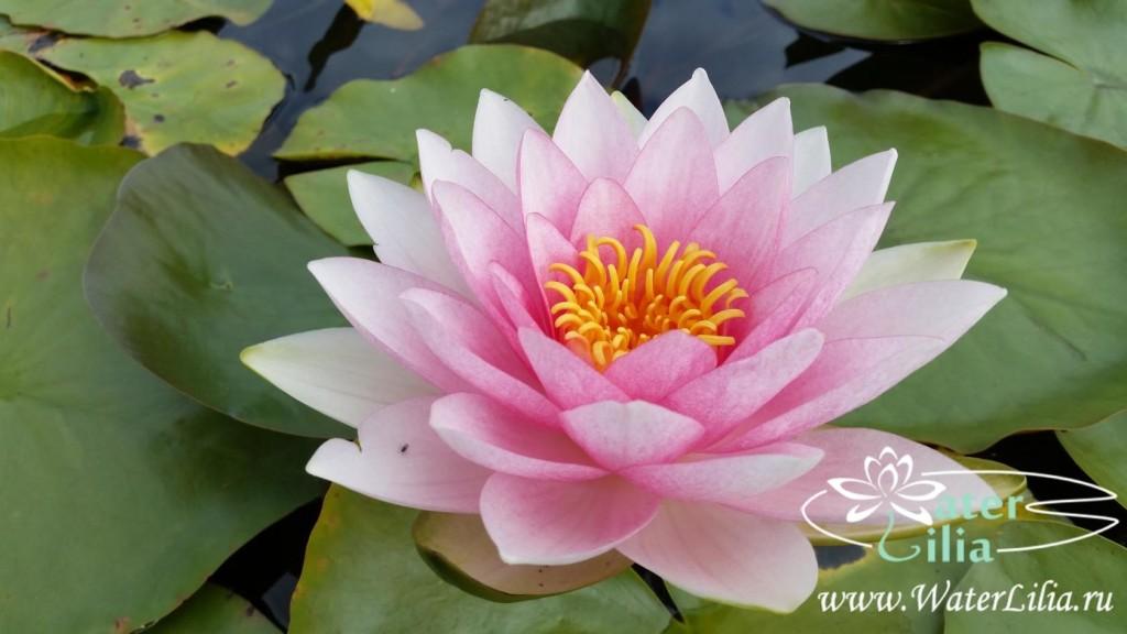 Купить нимфея Hollandia (купить кувшинку, водяную лилию Голландия)