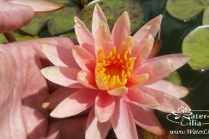 Купить нимфея Colorado (купить кувшинку, водяную лилию Колорадо)