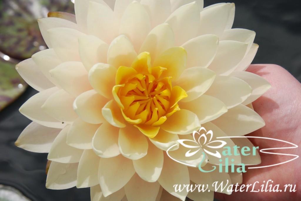 Купить нимфея Blushing Bride (купить кувшинку, водяную лилию Блашинг Брайд)