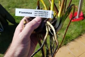Деленки нимфея Flammea