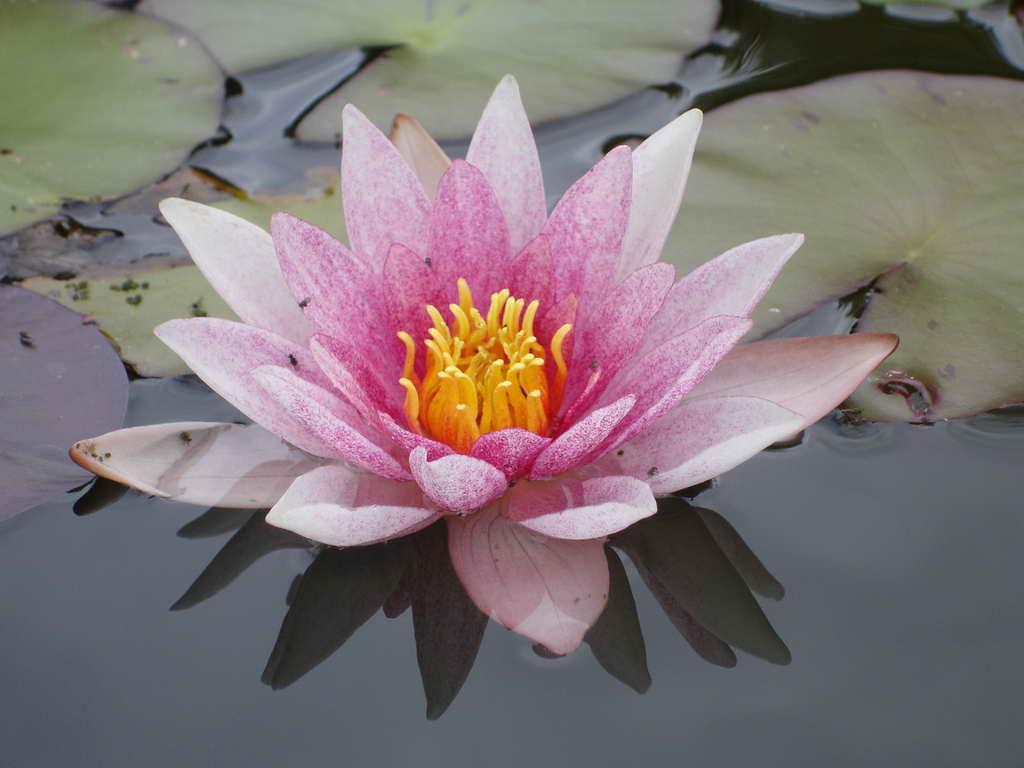 Купить нимфея Laydekeri Lilacea (купить кувшинку, водяную лилию Лайдекери Лилацеа)