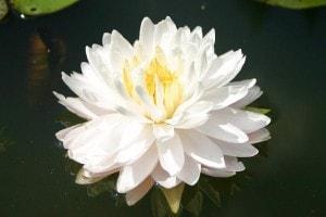 Купить нимфея Gloire du Temple-sur-Lot (купить кувшинку, водяную лилию Глоир ду Темпл-сур-Лот)