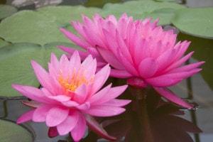 Купить нимфея Mayla (купить кувшинку, водяную лилию Mayla)
