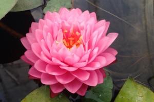 Купить нимфея Pink Pom Pom (купить кувшинку, водяную лилию Пинк Пом Пом)