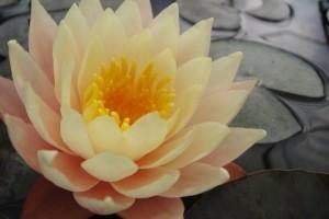 Купить нимфея Peaches and cream (купить кувшинку, водяную лилию Пичес энд Крем)