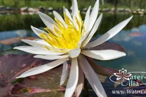 Купить нимфея Arc-en-Ciel (купить кувшинку, водяную лилию Арк-эн-Циел)
