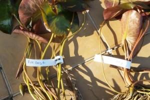 Информация о размерах нимфей и делёнок корневища (ризом), которые мы предлагаем к продаже!