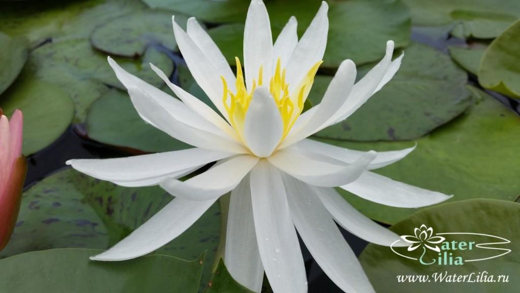 Купить нимфея Virginia (купить кувшинку, водяную лилию Вирджиния)