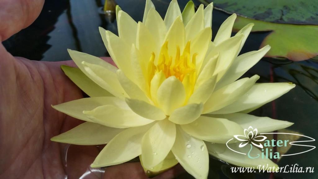 Купить нимфея Yellow Sensation (купить кувшинку, водяную лилию Елоу Сэнсэйшн)