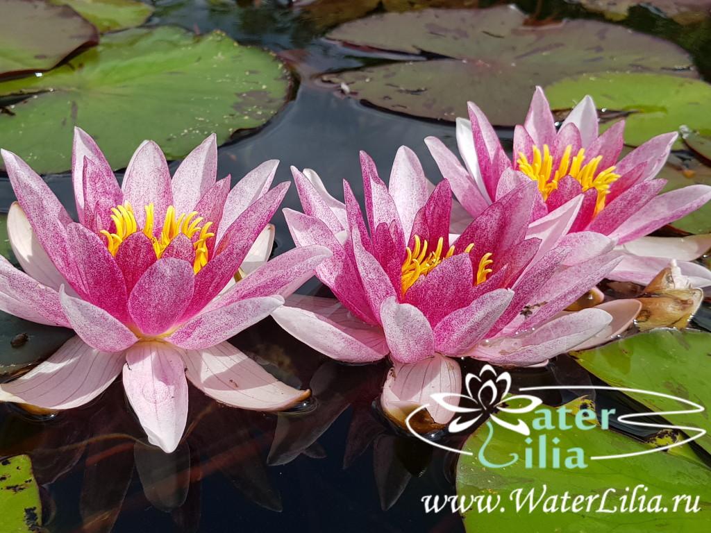 Купить нимфея Laydekeri Rosea Prolifera (купить кувшинку, водяную лилию Лайдекери Розеа Пролифера)