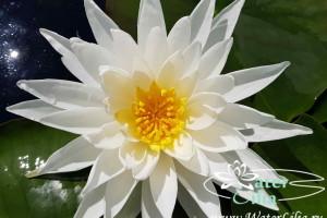 Купить нимфея White Sensation (купить кувшинку, водяную лилию Вайт Сэнсэйшн)