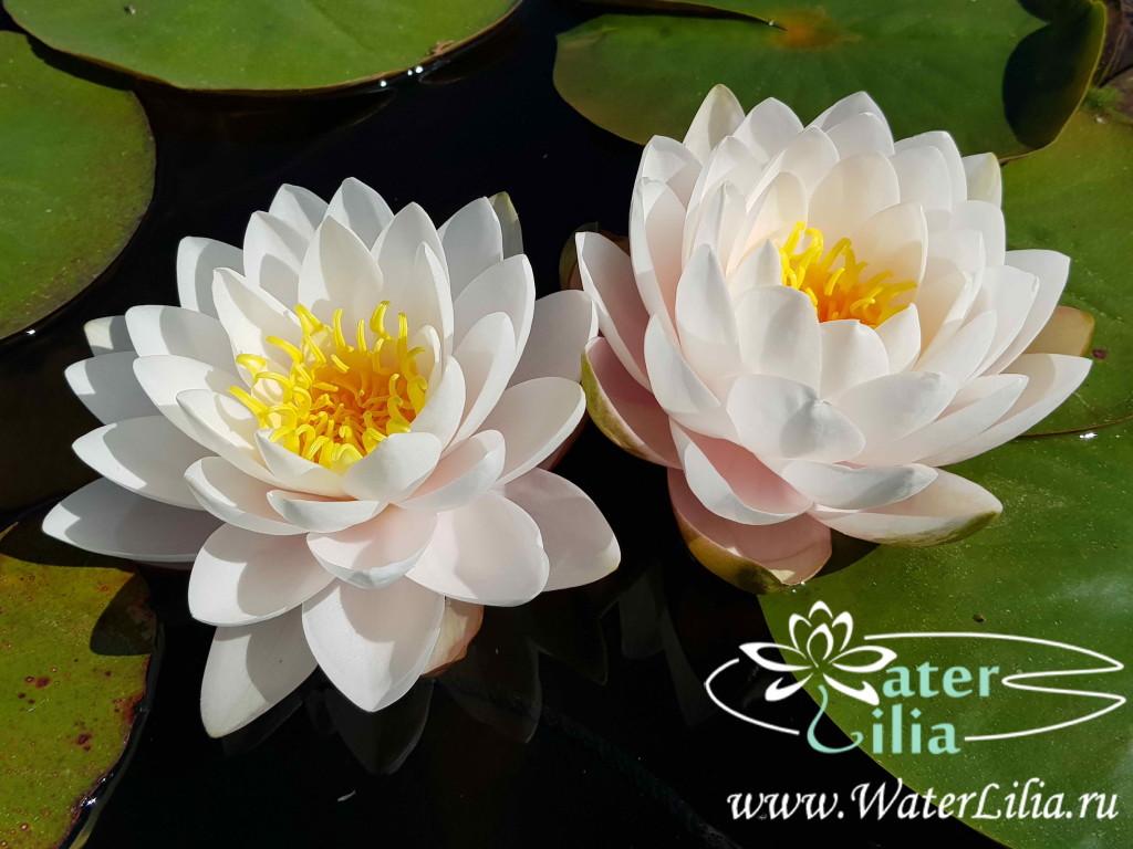 Купить нимфея Rattana Ubol (купить кувшинку, водяную лилию Раттана Убол)