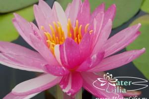 кувшинка Pink Dawn