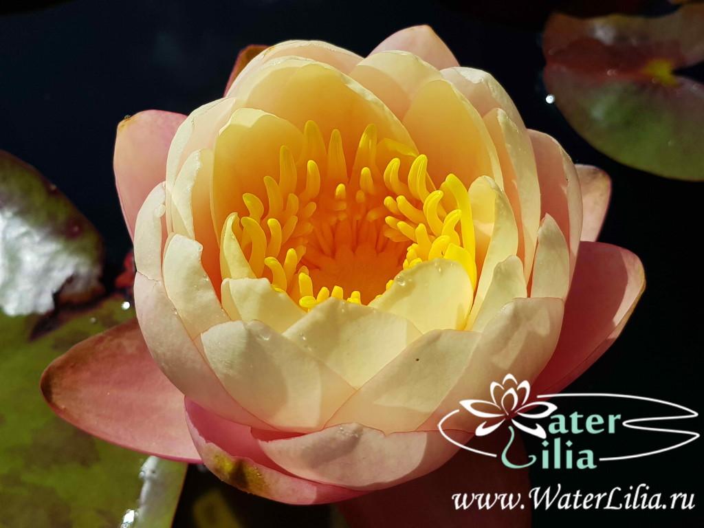 Купить нимфея Mae (купить кувшинку, водяную лилию Мэй)