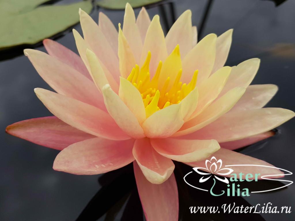 Купить нимфея Nefelis (купить кувшинку, водяную лилию Нефелис)
