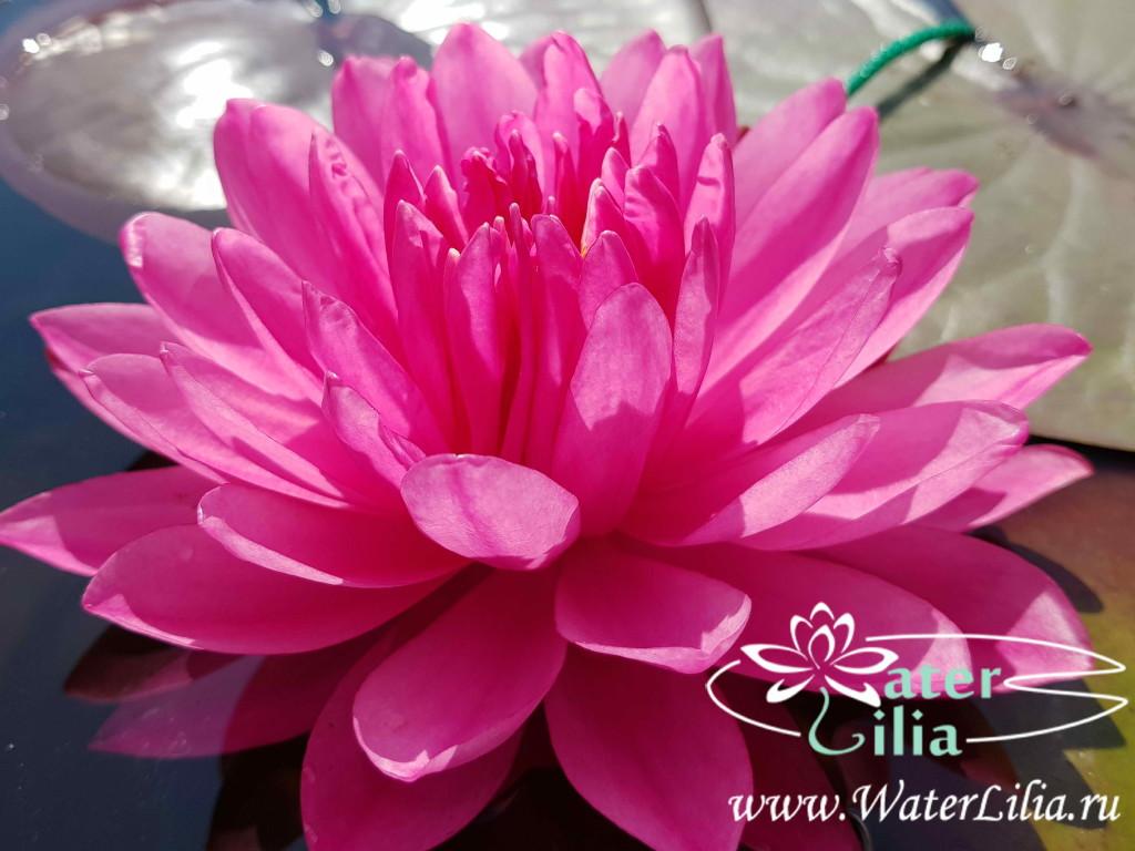 Купить нимфея Fuchsia Pom Pom (купить кувшинку, водяную лилию Фуксия Пом Пом)