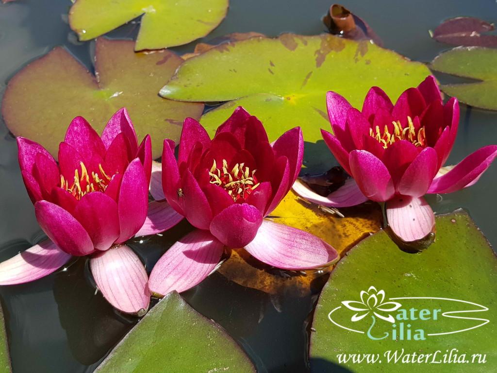 Купить нимфея Ellisiana (купить кувшинку, водяную лилию Эллизиана)
