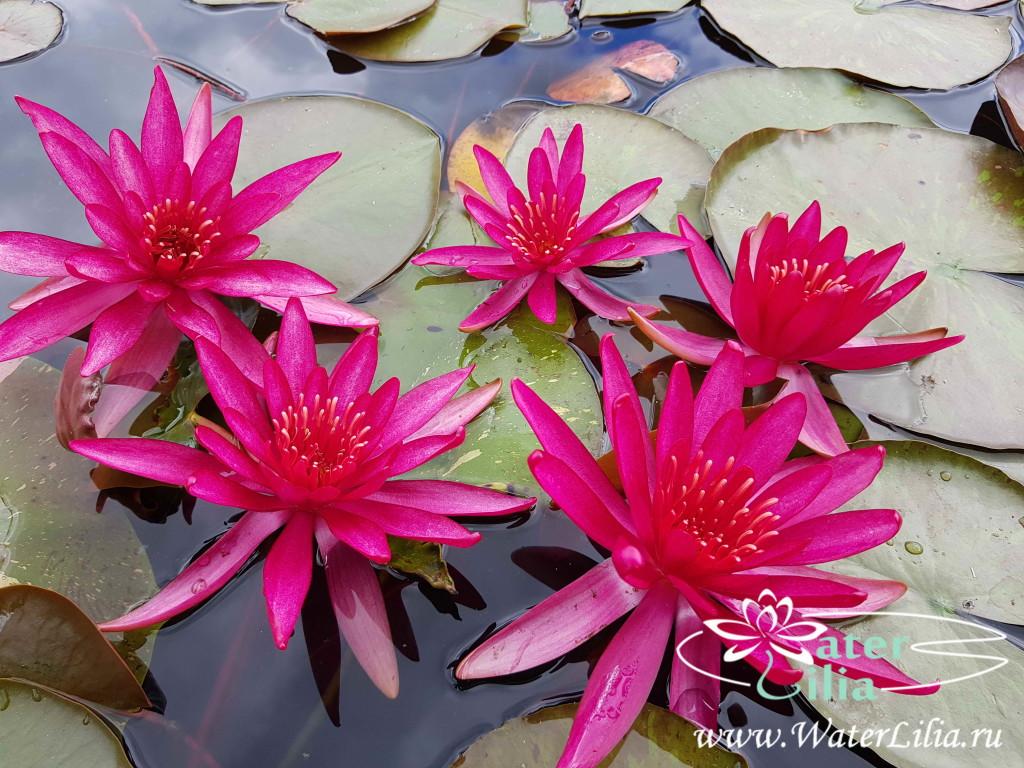 Купить нимфея Hidden Violet (купить кувшинку, водяную лилию Хайден Виолет)