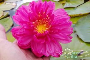 кувшинка Fuchsia Pom Pom
