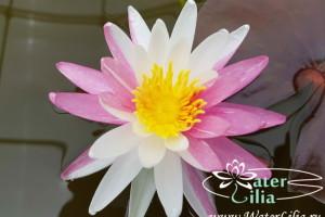 Купить нимфея Pink Dawn (купить кувшинку, водяную лилию Пинк Даун)