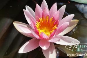 кувшинка Laydekeri Rosea Prolifera