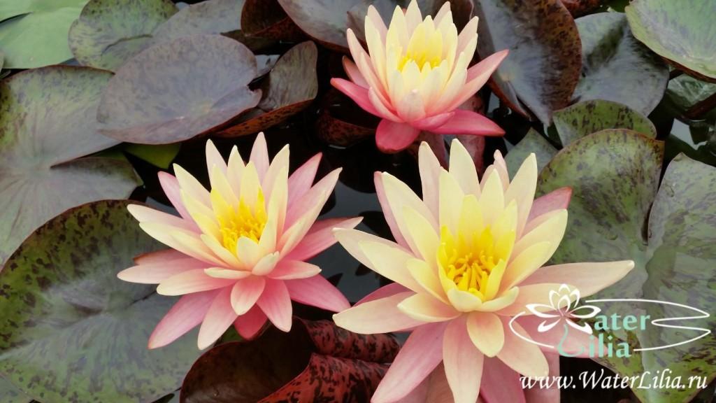 Купить нимфея Gregg´s Orange Beauty (купить кувшинку, водяную лилию Грегс Орандж Бьюти)