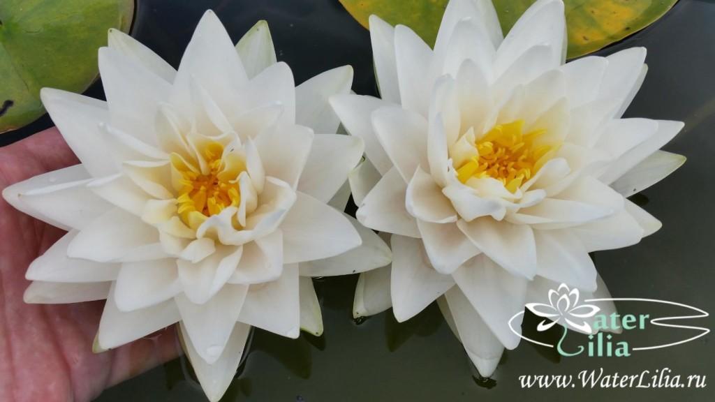 Купить нимфея Gonnere (купить кувшинку, водяную лилию Жоннери)