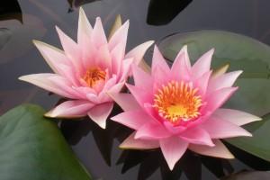 Купить нимфея Amabilis — синоним Pink Mavel (купить кувшинку, водяную лилию Амабилис синоним Пинк Мавел)