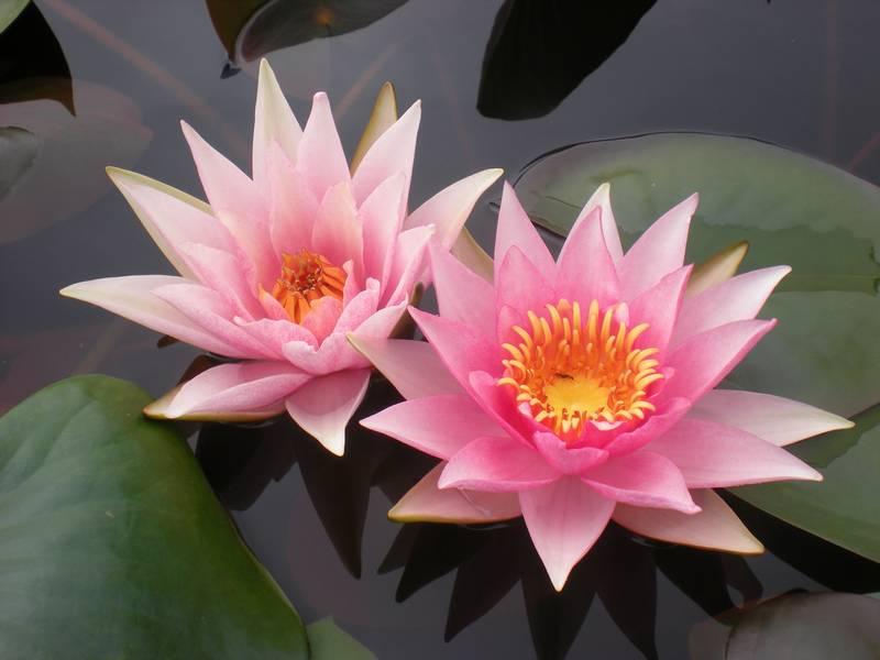 Купить нимфея Amabilis – синоним Pink Mavel (купить кувшинку, водяную лилию Амабилис синоним Пинк Мавел)