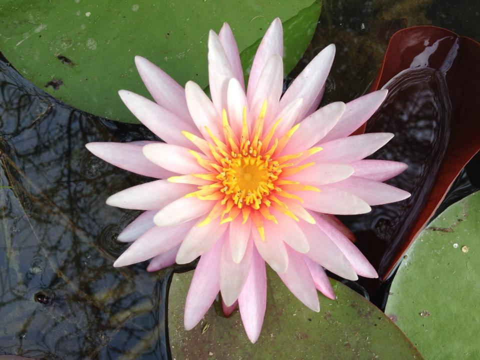 Купить нимфея Pinwheel (купить кувшинку, водяную лилию Пинвэл)