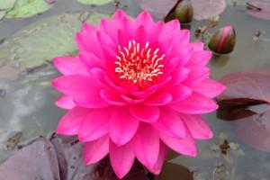 Купить нимфея Razzberry (купить кувшинку, водяную лилию Разберри)