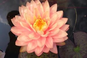 Купить нимфея Awesome (купить кувшинку, водяную лилию Авесом)